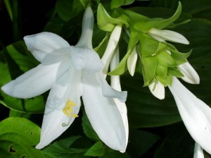 white hosta flowers 2