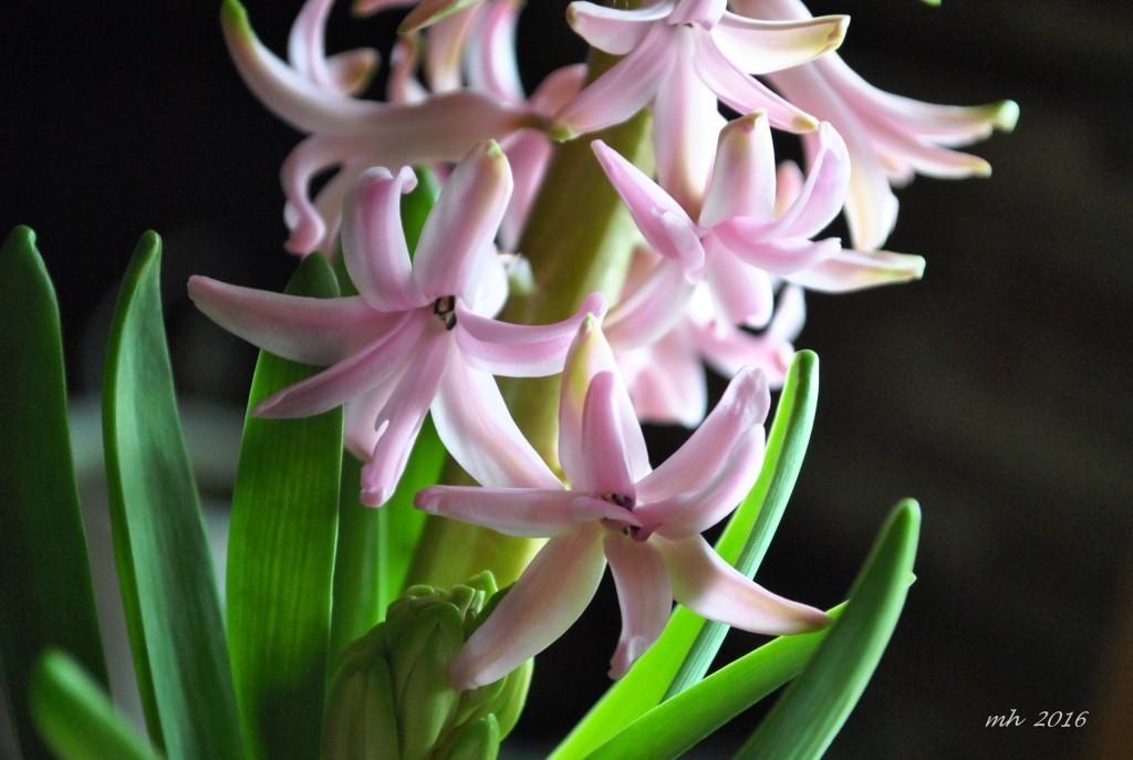 Hoa Dạ lan hương (2)