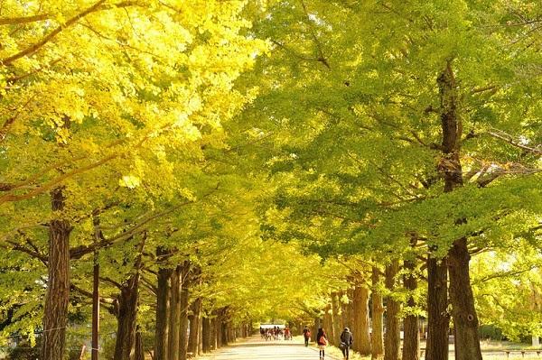 cây bạch quả ở công viên Showa Kinen (Tachikawa)