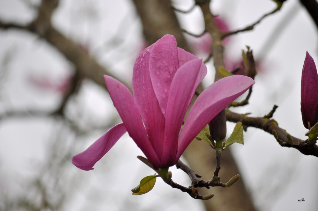 Magnolia 2016 (16a)
