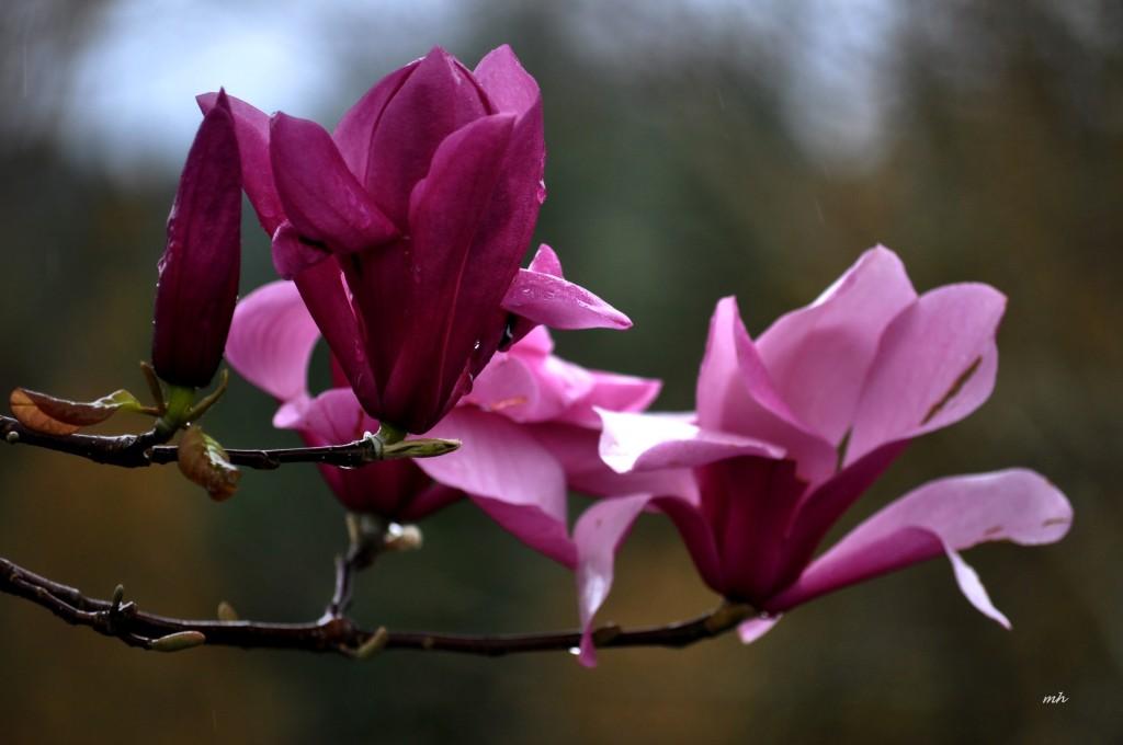 Magnolia 2016 (2)