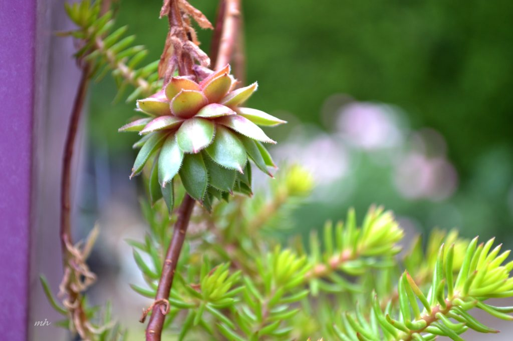 Hoa Sen đá (5)